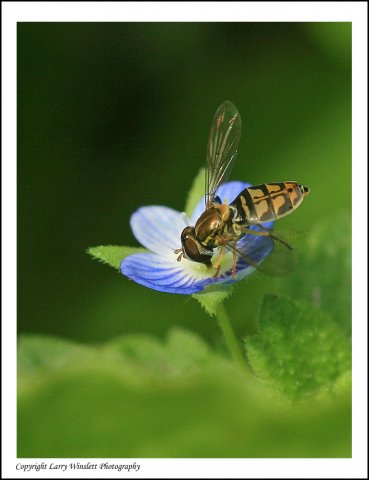 Wasp on a Speedwell