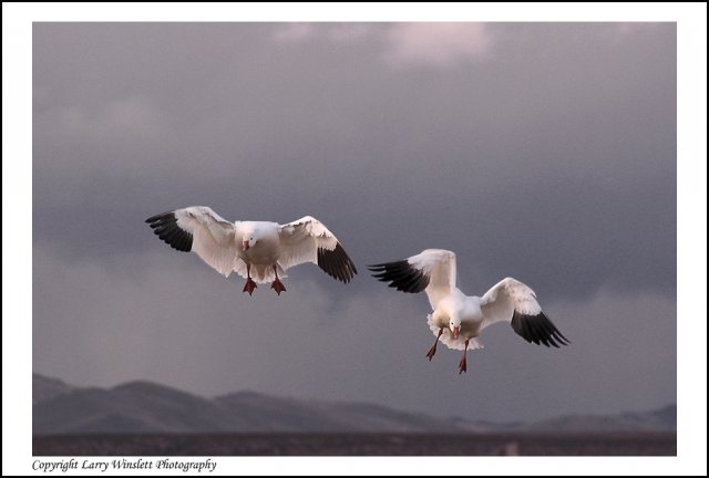 Snow Geese 2 - Bosque del Apache, New Mexico