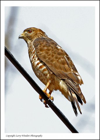Young Red-shouldered Hawk